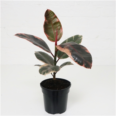 RUBBER PLANT 'Belize'