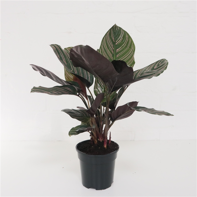 PIN STRIPE CALATHEA