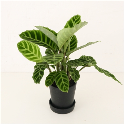 Calathea Zebrina (2 sizes)