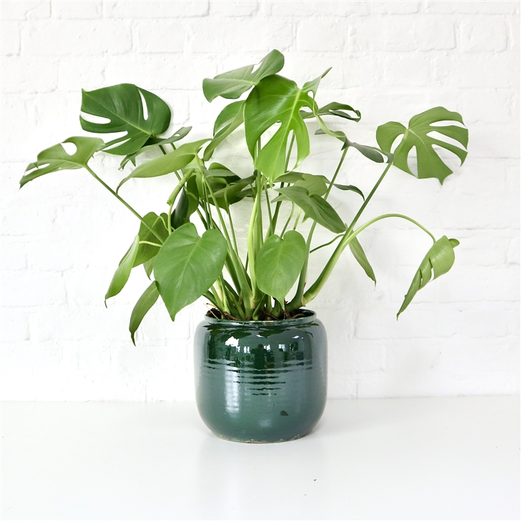 GLAZED CURVED PLANTER - GREEN (3 SIZES)